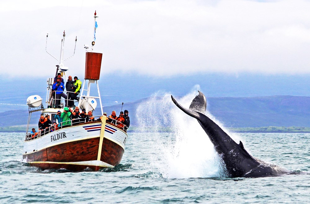 Baleines à Husavik en Islande
