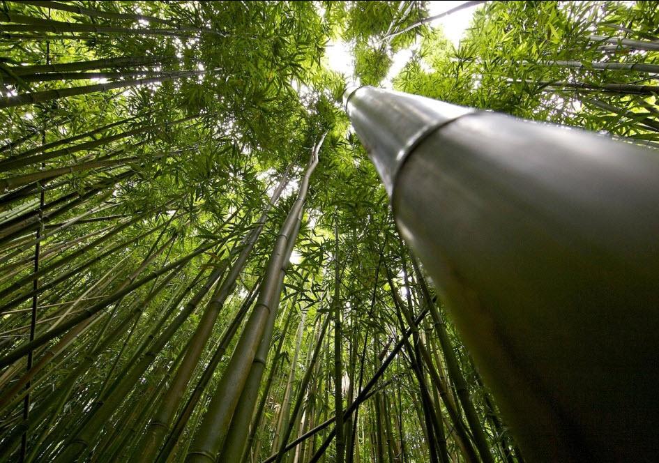 oahu - foret bambou