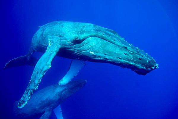 Maui Hawaii - Baleines a bosse