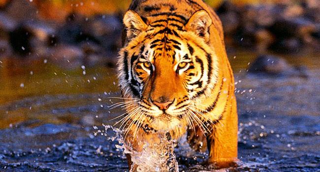 Tigre du Parc national de Ranthambore