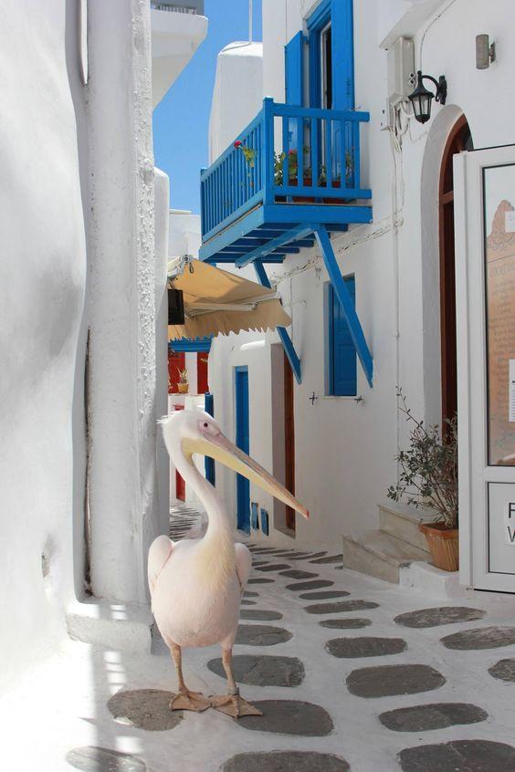 Petros le pelican mythique de Mykonos