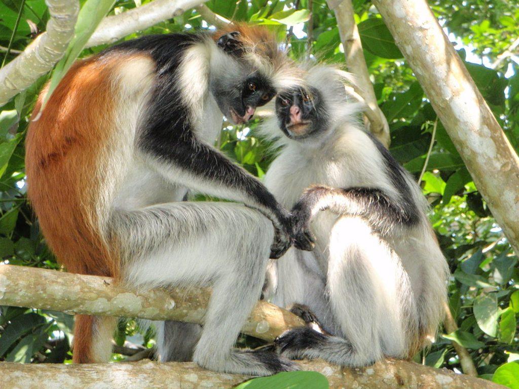 Voyage de Noces au Zanzibar- Colobes Rouges