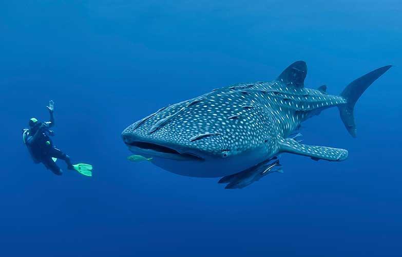 Voyage de Noces aux Philippines - Plongée avec les requins baleines